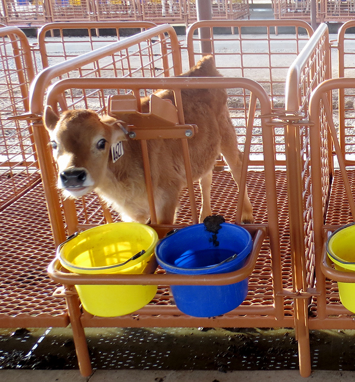 ADA Enterprises Calf Stalls