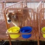 calf stalls