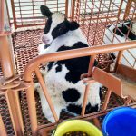 dura built calf stall