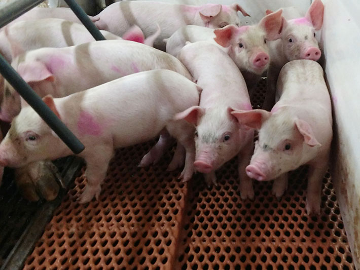 Piglets on Dura-Trac Elevated Mesh Livestock Flooring System (Livestock Flooring System)